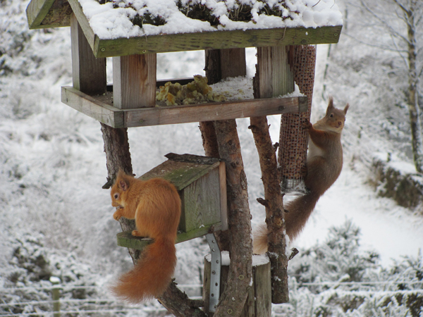 Red squirrels in snow.