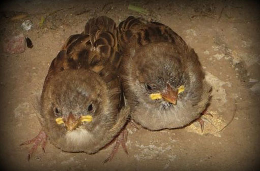 Fledgling sparrows